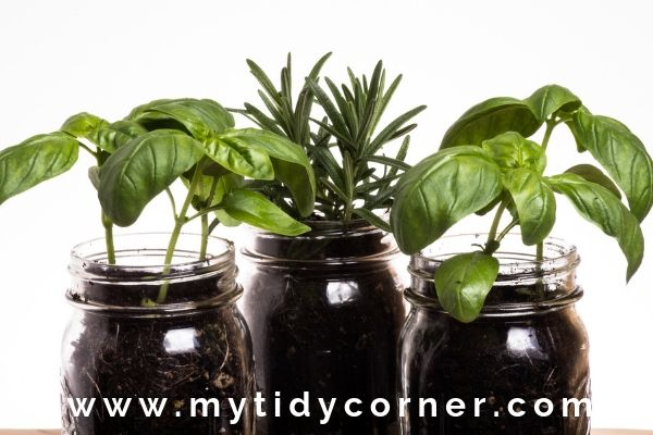 Mason jar for windowsill herb garden